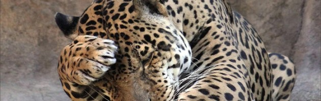 leopardwallpaper1366x768